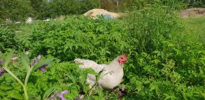 Chickens – a Great Addition