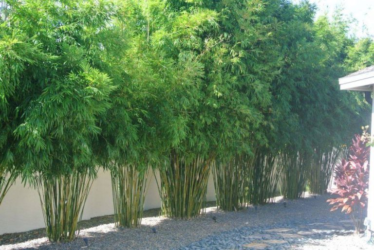 Bamboo – Plant of Many Uses