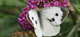 Beating the Cabbage White Butterfly